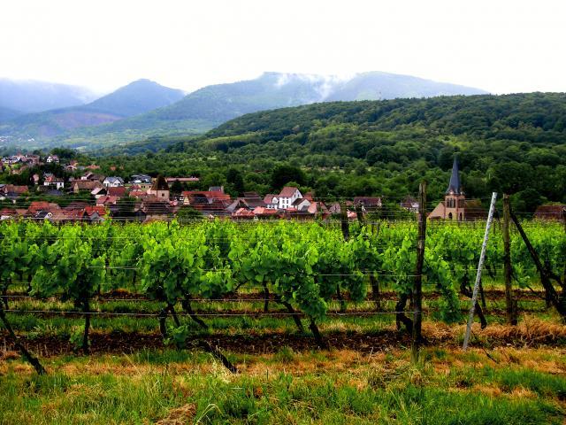 Elsassissa pyöräily- ja patikointireitit kulkevat aivan viinitarhojen keskellä. Kuva: Hobby Hall