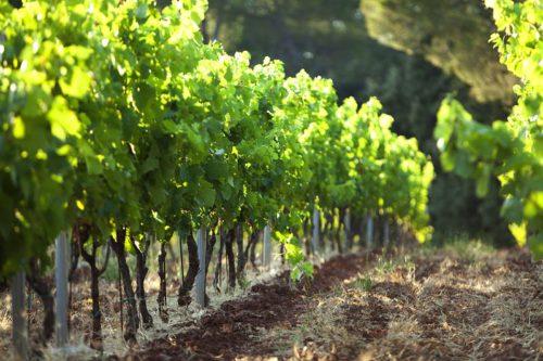 Viinipeltoja Loiressa.